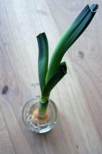 Gemüse, das nach wächst - Lauch, Gemüse auf der Fensterbank, Gemüse nach ziehen, selber züchten, Biomüll